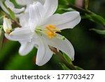 Lilium Longiflorum  Easter Lily ...