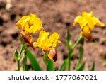 Yellow Bearded Irises  Lat....