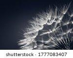 Dandelion Seed Head. Dandelion...