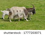 Small photo of Mother goat with baby goad kids, horned, walking in grass.