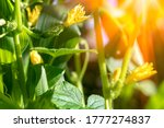 Small Cucumber With Flower And...