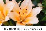 A Few Bright Orange Lilies On A ...