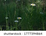 Daisies In The Forest On The...
