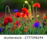 Field Of Corn Poppy Flowers...