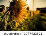 Sunflower Fields. Field Of Gold....