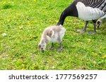 Duckling Of Barnacle Goose...