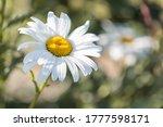 Leucanthemum Vulgare  Commonly  ...