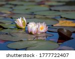 A Cluster Of Water Lillies...