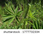 Green Lupine Leaves With Buds...
