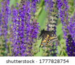 Black Swallowtail Butterfly...