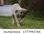 The Sivas Kangal Dog Anatolian...