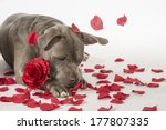 a valentine's day pit bull dog... | Shutterstock . vector #177807335
