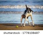 Dog Shaking Dry On Beach