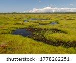Traditional bog landscape on a summer day, bog vegetation, windy weather, Nigula Nature Reserve, Estonia
