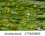 waterlilies in the danube delta ... | Shutterstock . vector #177829805