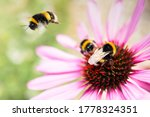 Bumblebees On The Cone Of A...