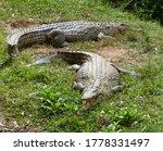 Hungry Agressive Crocodiles In...