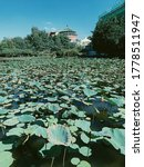Growth Of Lily Pads In City Pond