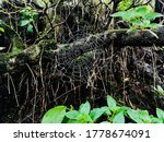 Spider With Tree Spider Web...