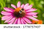 Summer Macro Photo   Bumblebee...