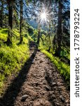 Footpath In Coniferous Forest ...
