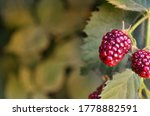 Large And Juicy Berries Ripen...