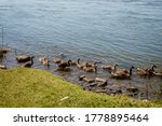 Geese Activities In The...
