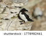 A stunning Razorbill, Alca torda, standing on a ledge on the cliff face at the edge of the sea during breeding season.