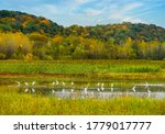 View of shallow pond with white egrets in foreground and colorful Missouri River Bluffs in background; birds reflect in shallow water; blue sky; fall in Missouri, Midwest
