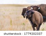 Baby Calf Bison Grazing In...