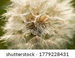 Seed Head Of Tragopogon...