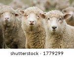 Three Sheep Within A Mob Turn...