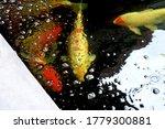 Fancy Carp Fishes  Mirror Carp...