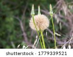 Large Puff Seed Head   Western...