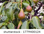 Green Juicy Pears With Leaves...