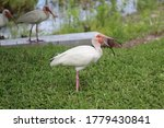 Young Pelican Or Wood Stork...