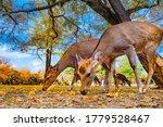 Japan. Nara Park. Two Deer...