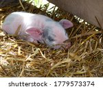 Baby Piglet Sleeping At The Barn
