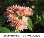Bunga Kertas Or Bougainvillea...