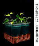 Small photo of Ficus Nina and Ficus Golden Monique - flowerpot on black background