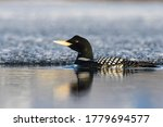A Yellow Billed Loon Swims On A ...
