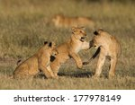 African Lion Cubs Playing In...