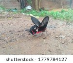 Butterfly On The Ground.indian...