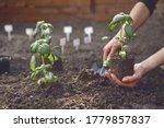 Hand Of Unknown Gardener Is...