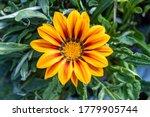 Close Up Of A Gazania Flower....