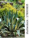 Small photo of Agave americana. Plant close up