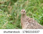 Portrait Of A Female Common...
