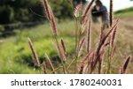 Texas Grass  A Dense Grassy...