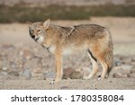 Profile Of A Wild Coyote In The ...