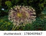 Allium Schubertii   Known By...